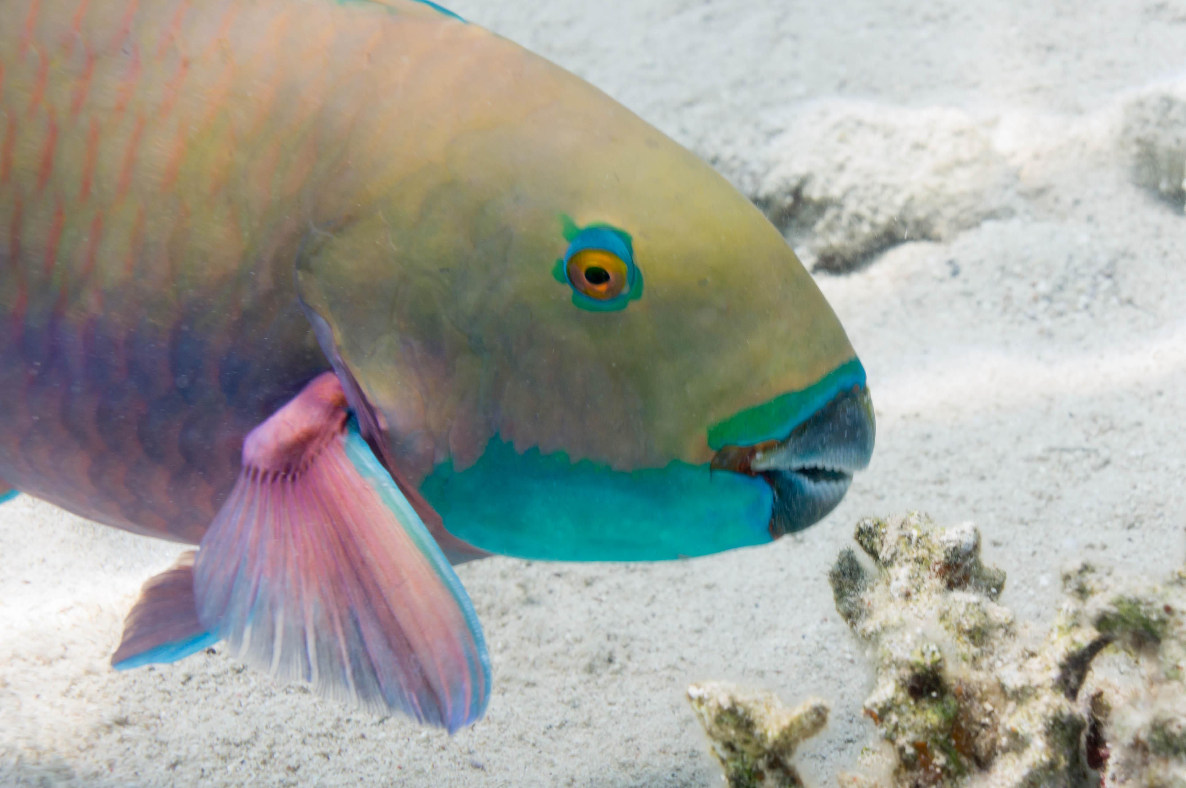 Parrotfish, beach,