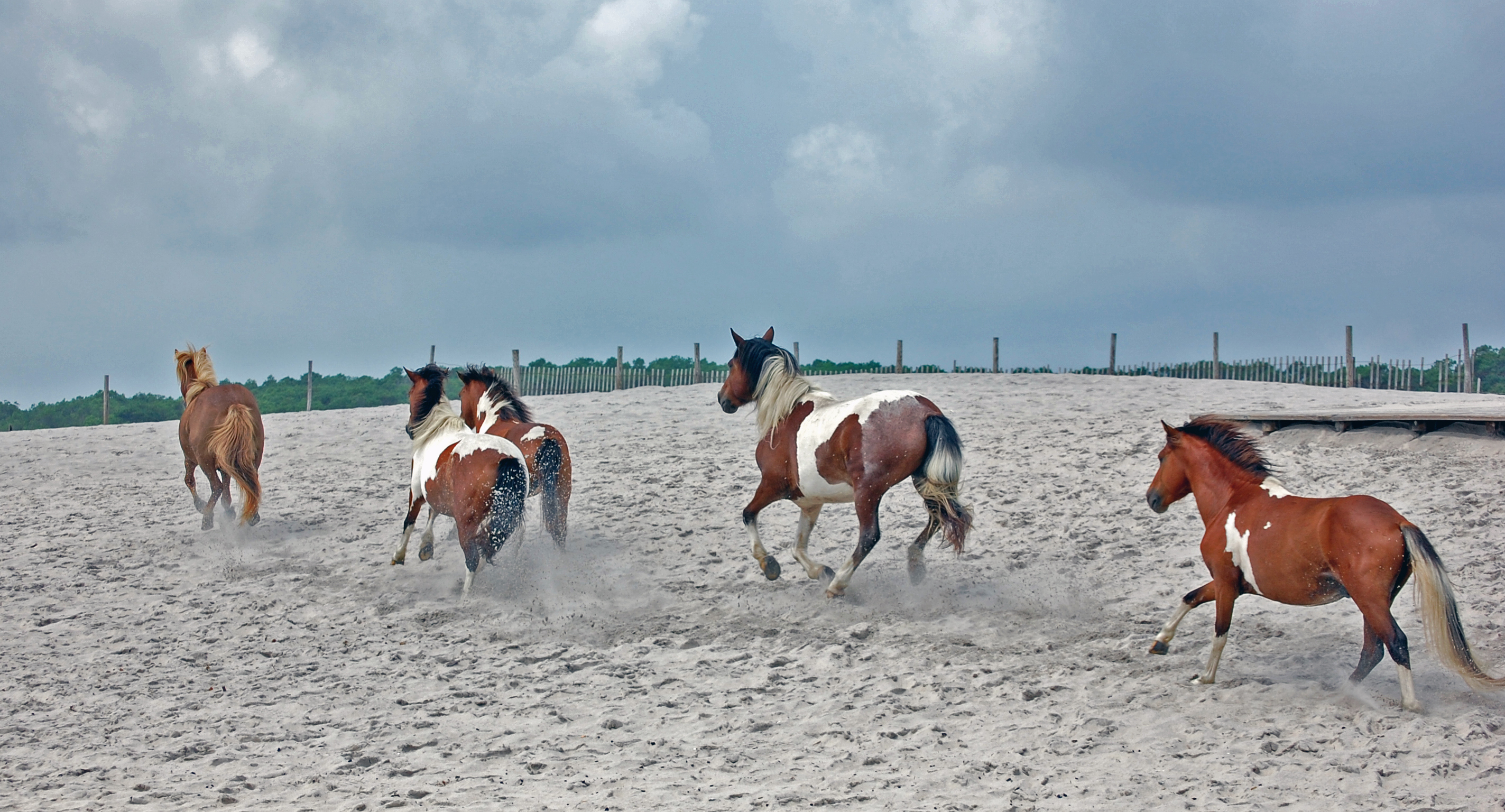 Assateague Island wild horses, Assateague Coastkeeper