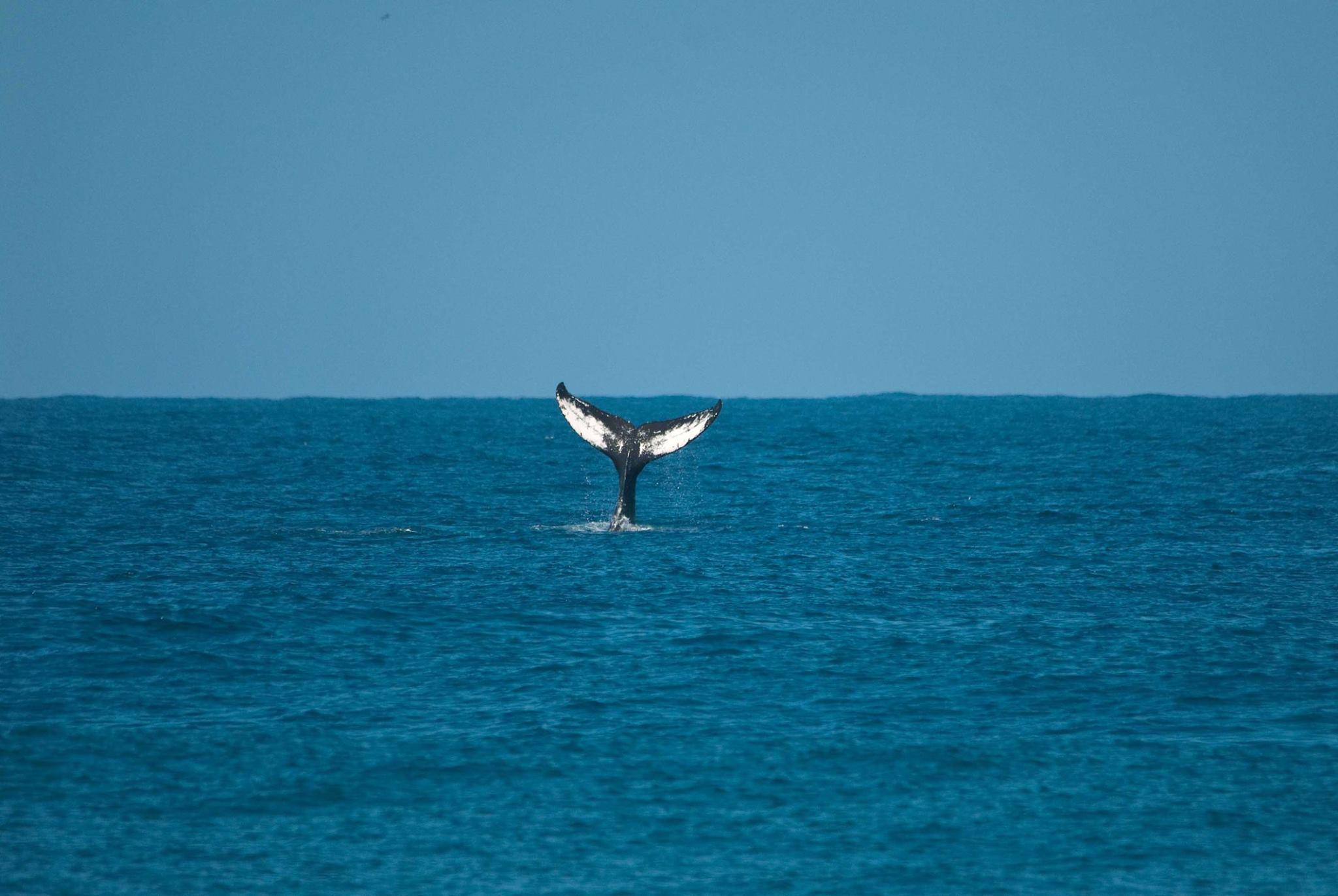 Surfrider-Rincon-whale