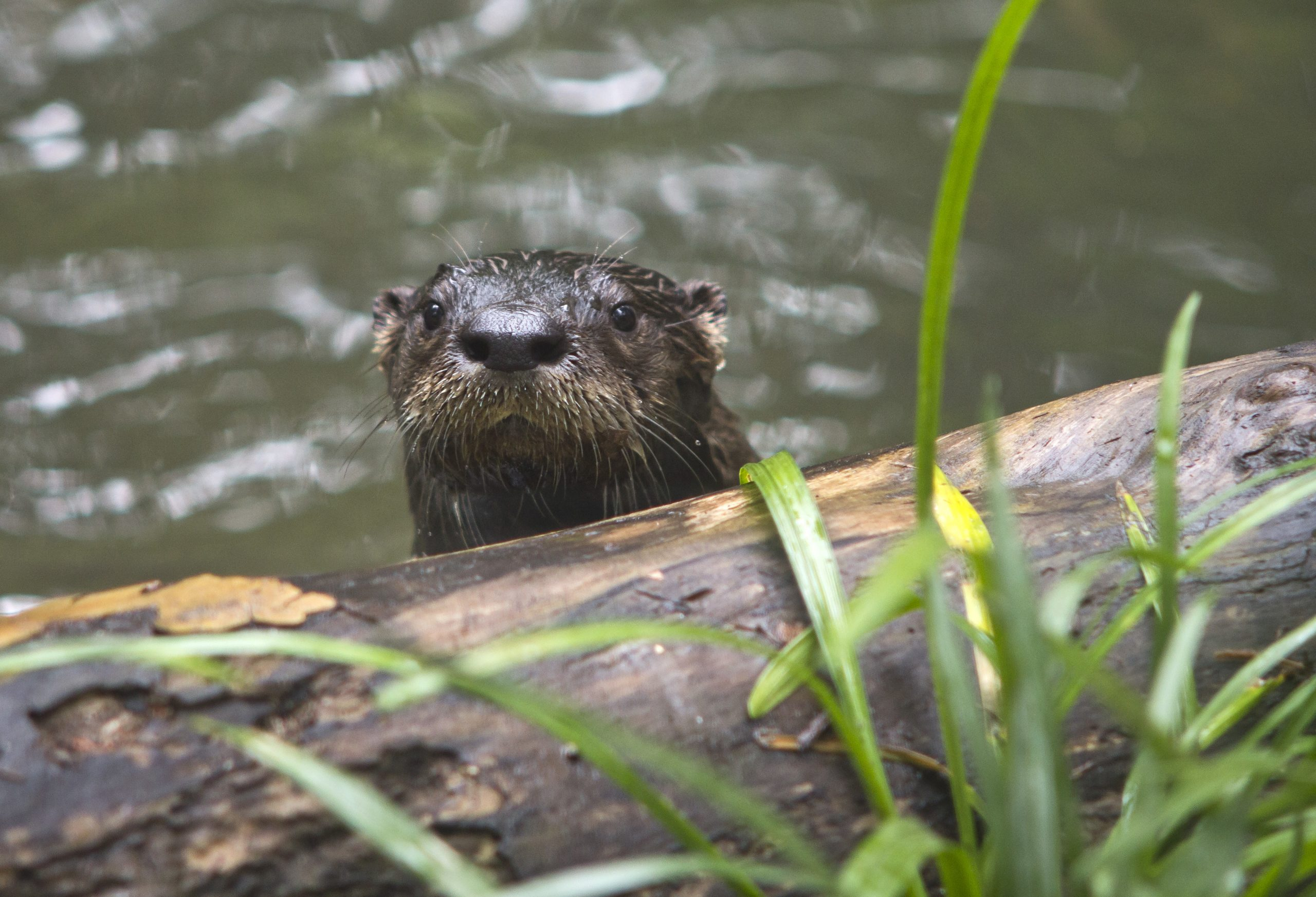 Young-North-American-river-otter