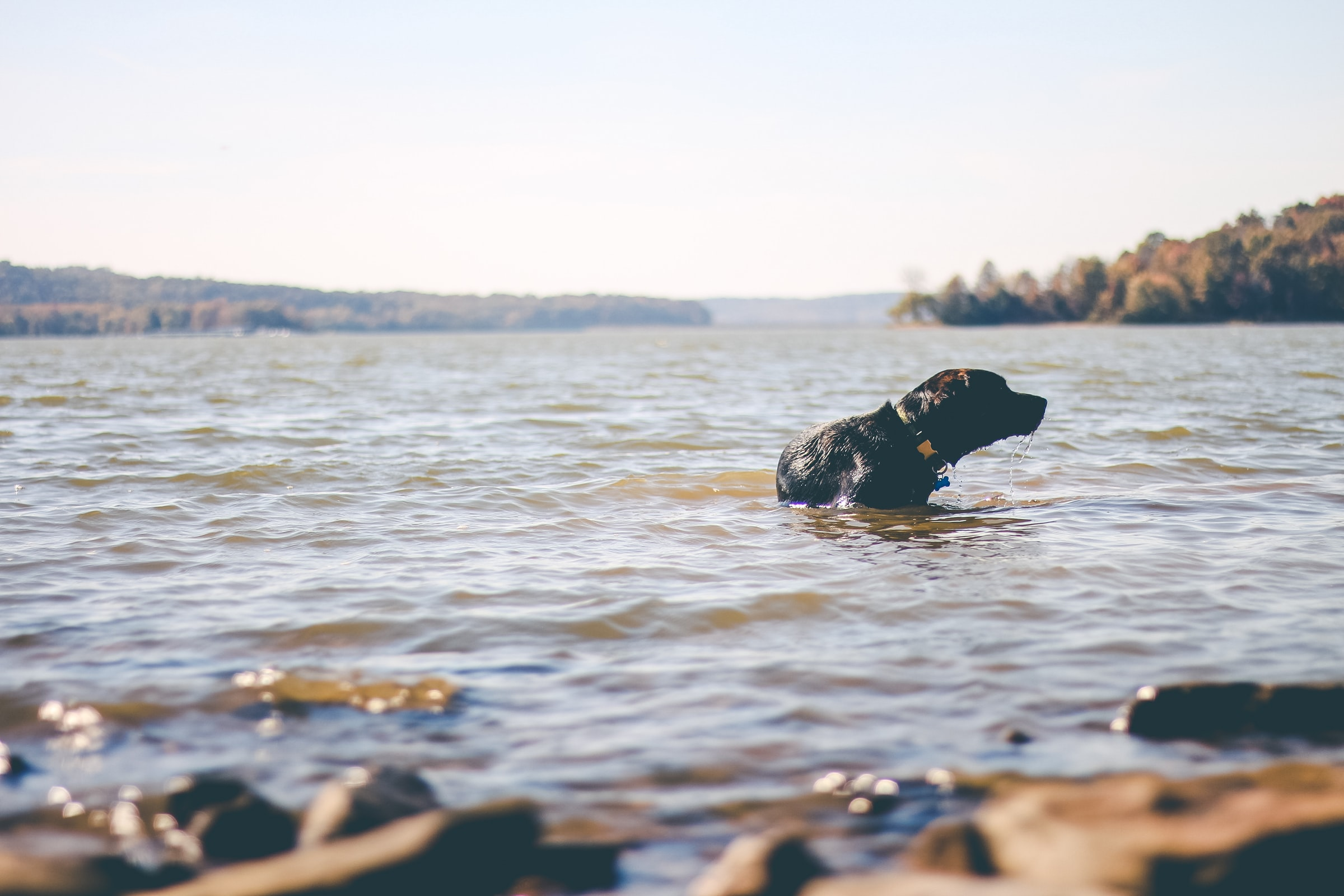 dog-swimming-in-lake